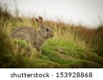 Wild Rabbit  In The Yorkshire...