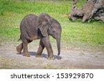 Stock photo baby elephant walking 153929870