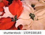 Red Poinsettia Christmas Flower....
