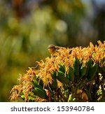 Small photo of Large cluster of yellow flowers of wild plant agave fourcroydes with a small bird phylloscopus canariensis looking around and ready to eat nectar of its stamens, on unfocused natural green background