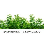 tropical leaves bush isolated...   Shutterstock . vector #1539422279