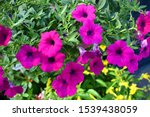 Red Ipomoea Flowers Were...