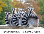 A Group Of Resting Lemurs Katta