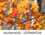 Small photo of Red autumn leaf amiss yellow leaves