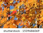 Small photo of Red leave amiss yellow autumn leaves