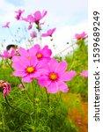 Beautiful Pink Cosmos Flowers...