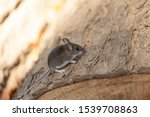 The Deer Mouse  Peromyscus...
