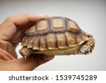 Stock photo tortoise on the hands of man african spurred tortoise cute portrait of baby tortoise geochelone 1539745289
