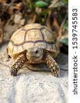 Stock photo close up african spurred tortoise resting in the garden slow life africa spurred tortoise 1539745583