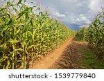 Rows Of Corn Stalks In A Maze...