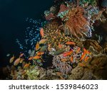 Anthias Fish And Golden Sweeper