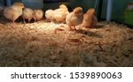 Small photo of Selective focus of wewly hatched baby chicks in brooding pen, it is school incubation program which allows student to experience on watch eggs hatching and observe the hatched chicks.