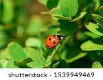 Ladybug With Black Dots On Leaf