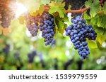 Vineyards Autumn Harvest. Fresh ...