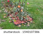 Small photo of How to look after roses in autumn