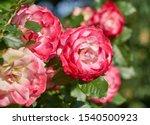 Red Rose Flowers Bloom In...