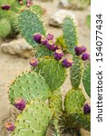 Prickly Pear Cactus With Fruit...