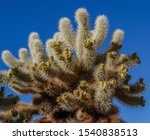 Teddy bear cholla cactus, AKA jumping cholla, (cylindropuntia bigelovii) with fruit against a clear blue sky in Joshua Tree National Park, California, USA.