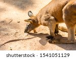 Kangaroo Looking For Food  In ...