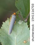 Small photo of Manulea complana, also called Eilema complanum, the scarce footman