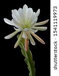 White Epiphyllum  Orchid Cactus ...