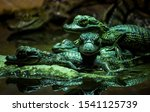 Cute Green Spectacled Caimans ...