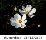 White Flowers Of Garden Cosmos...