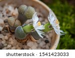 Lithops Succulent Plant In...