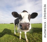 Holstein Cow In A Field  Close...