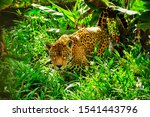 An Adult Jaguar Stalking In Th...