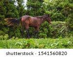 Single Horse On Meadow On Sao...