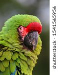 Portrait Of A Military Macaw...