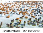 Colony Of Wintering Ducks And...