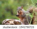 Closeup Of A Fox Squirrel Wit...