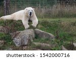 A Polar Bear frolicking on a mound.