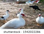 Large white heavy duck also known as America Pekin Duck, Long Island Duck, Pekin or Aylesbury Duck, Anas platyrhynchos domesticus - stock photo