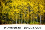 Aspen Trees In Fall With...
