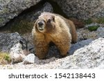 Marmots Are Common In The Rock...