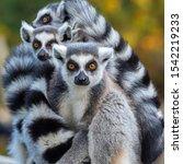 Clouse Up Portrait Of A Lemur...