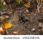 An Amazonian Tarantula Crawlin...