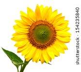 sunflower isolated on white... | Shutterstock . vector #154235840
