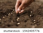 Hand growing seeds of vegetable ...