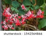 Blooming Clerodendrum...