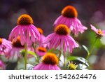 blooming  purple coneflower....
