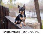 Pet Dog Chihuahua Walks On The...