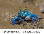 Blue Fiddler Crabs  Beautiful...