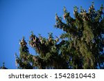 Small photo of heavy pine cones weigh down an evergreen's branches