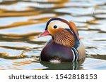 Closeup Of Male Mandarin Duck...