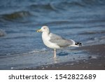 Stock photo adult european herring gull larus argentatus standing on beach in water 1542822689