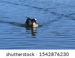 Egyptian Goose Swiming In Lake